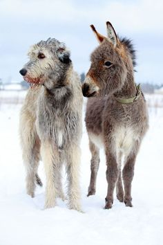 Irish Wolfhound and Donkey - could there be anything cuter!!!
