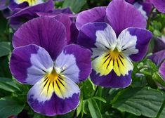 Growing Pansies: How to Plant, Grow, and Care for Pansy Flowers: The Old Farmer's Almanac Planting Flowers From Seeds, Flower Seeds, Nature Plants, Fall Plants, Johnny Jump Up, Edging Plants, White Hibiscus, Old Farmers Almanac, Primroses