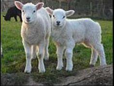 Běžela ovečka....♥♥♥(Kety)♥♥♥