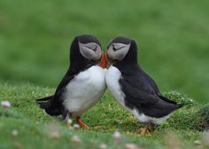 Awww, what cute whittle guys.....Puffins