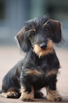 Untitled Wire Haired Dachshund Baby Dogs Dog Love