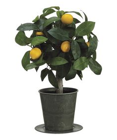 Loving this Miniature Lemon Plant & Pot on #zulily! #zulilyfinds