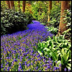 Blue river #flowers #holland #ubiquography #dutch #jj_forum #igersholland #tulipfieldsexperience #blue #keukenhof - @alanisko- #webstagram