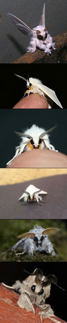 The Venezuelan Poodle Moth is a possible new species of moth discovered in 2009 by Dr. Arthur Anker of Bishkek, Kyrgyzstan, in the Gran Sabana region of Venezuela. It bears similarities to the Diaphora mendica, the Muslin Moth, but most likely belongs to the lepidopteran genus Artace.