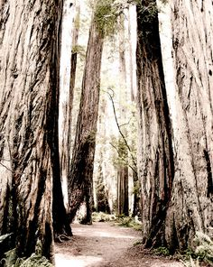 California redwoods..