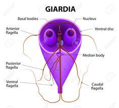 giardia lamblia - Google 検索