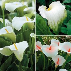 Arum Lily 'Winter Hardy Collection' from Van Meuwen - quality gardens at everyday prices Calla Lillies, Calla Lily, Exotic Plants, Exotic Flowers, Titan Arum, Iris Rhizomes, Trumpet Lily, Zantedeschia, Fat Lady