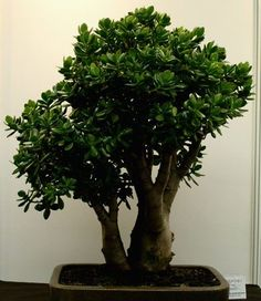 Bonsai, Crassula Ovata, Jade Plants, Container Plants, Cactus, Houseplants, Indoor Plants, Landscape Design, Herbs