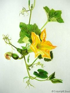 Pumpkin Blossoms, Painting by Sree