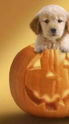 Pumpkin puppy
