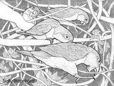 Sally Blanchard - Pen and Ink Drawing White-bellied Caiques Foraging
