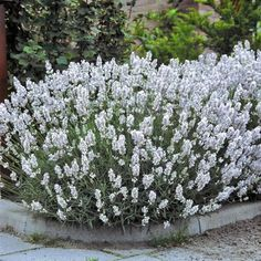 Lavendel (Lavandula augustifolia ´Edelweiss´)