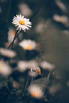 Chamomile flowers macr on sping meadow by Thomas Zsebok on Flor Iphone Wallpaper, Natur Wallpaper, Daisy Wallpaper, Wallpaper Nature Flowers, Flower Background Wallpaper, Sunflower Wallpaper, Beautiful Flowers Wallpapers, Beautiful Nature Wallpaper, Scenery Wallpaper