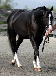 Black Warmblood Stallion