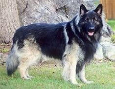 Image result for shiloh shepherd Shiloh Shepherd, Dogs, Image, Animals, Animales, Animaux, Pet Dogs, Doggies, Animal