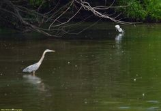 Blue Heron and White Egret in Lake Luxembourg