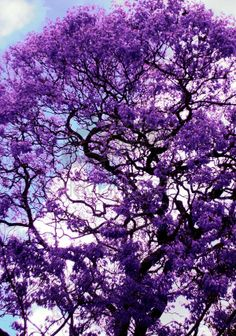 A jacaranda, one of the few things I miss about Florida. The color of these trees in the spring is astonishingly vivid--they don't even seem real. So pretty.