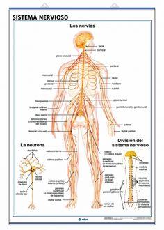 El Sistema Nervioso (SN) es, junto con el Sistema Endocrino, el rector y coordinador de todas las actividades conscientes e inconscientes del organismo. Está formado por el sistema nervioso central o SNC (encéfalo y médula espinal) y los nervios (el conjunto de nervios es el SNP o sistema nervioso periférico)