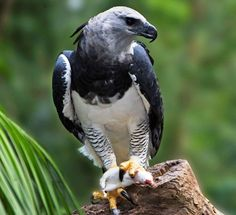 The harpy eagle (Harpia harpyja) is a neotropical species of eagle. It is sometimes known as the American harpy eagle to distinguish it from the Papuan eagle. Harpy Eagle, Bald Eagle, Aigle Harpie, Largest Bird Of Prey, Camelus, List Of Birds, Rainforest Animals, National Animal, Exotic Birds