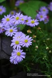 Swan River Daisy seeds A must in the garden 20 seeds by CheapSeeds, $2.50