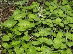 Calamintha nepeta (L.) Savi subsp. nepeta