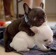 French bulldog cuteness alert!
