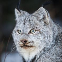 """""""Lynx on the prowl....taken today in Riding Mountain National Park #manitoba"""""""