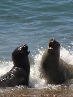 Lobos marinos en Peninsula Valdes, Argentina