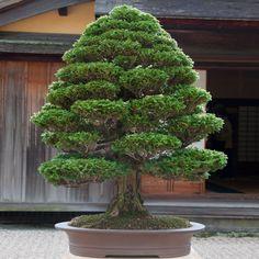 Bonsai 1331