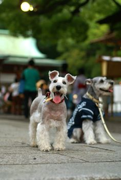 Miniature Schnauzers .. that face!