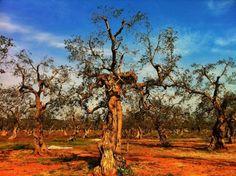 Worn and weathered olive trees of #Salento, #PugliaLP #Puglia