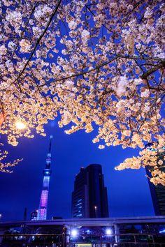 222:「スカイツリーと夜桜のコラボが素晴らしかったです。」@隅田公園