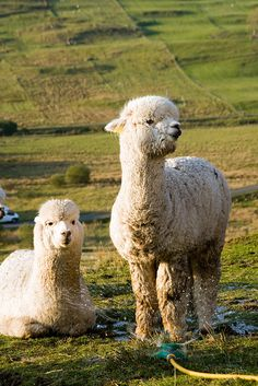 Frank and Felix, the alpacas, enjoying a sprinkler. Cooling Off photo by Richard Powell, Richard@Skye via Flickr