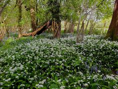 The Woodland Seen....Allium ursinum – known as ramsons, buckrams, wild garlic, broad-leaved garlic, wood garlic, bear leek or bear's garlic – is a wild relative of chives native to Europe and Asia.