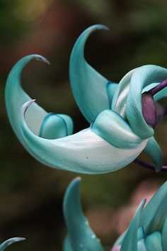 Jade vine:  I miss being able to see it growing in peoples yards in Hawaii and wearing the leis made with the flowers.