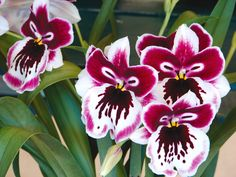 Fragrant Orchids of Maui | Best Publishing