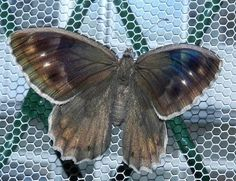 Hipparchia statilinus (Hufnagel, 1766) - le farfalle della Puglia