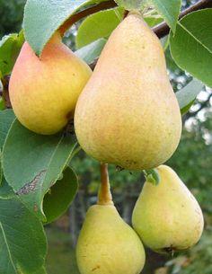 Päärynä Pepi - Viherpeukalot