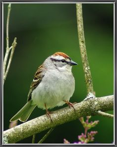 Chipping Sparrow, published by Byard Miller at Flickr