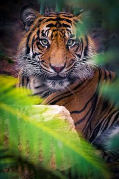 Amazing wildlife - Tiger photo by DeeDeeBean Wild Life, Beautiful Cats, Animals Beautiful, Animals Amazing, Majestic Animals, Big Cats, Cats And Kittens, Chat Lion, Animals And Pets