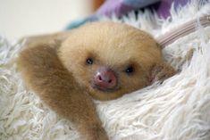 Baaaaaby sloth!