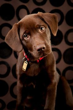 sweet and handsome (or beautiful) chocolate lab