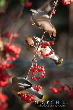 Waxwings at Breakfast by Nick Chill - #birds #winter #red