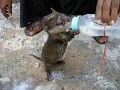 A baby otter drinking milk from a bottle.