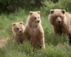 Grizzly bears fishing for salmon brooks falls katmai national park bear momma and babies fandeluxe Gallery