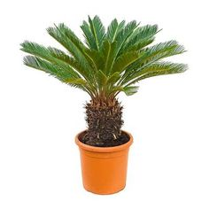Cycas revoluta - Sago Palm - 26 x (stem Sago Palm Care, Pony Tail Palm, Indoor Palms, Tall Planters, Indoor Plant Pots, Liquid Fertilizer, Office Plants, New Leaf, Growing Plants
