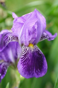 'Monsignor' iris - want to plant this