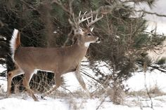 'tails' up and on the move. Primates, Mammals, Rare Animals, Strange Animals, Big Whitetail Bucks, Pet Rats, Pets, Whitetail Deer Pictures, Big Deer