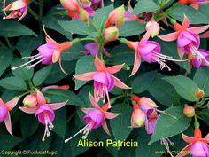 Fuchsia Alison Patricia