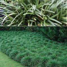 Ophiopogon japonicus - mondo grass - garden 9